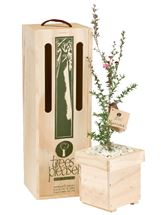 Picture of Living Manuka Tree Gift
