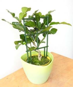 Picture of Baby Kaffir Lime