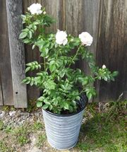 Picture of Patio Rose to the UK