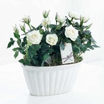 Picture of Two White Rose Plants