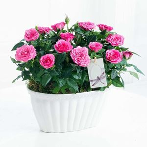 Picture of Two Pink Rose Plants